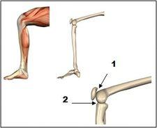 Knee_-_anatomy_pictures__knee_1__medium